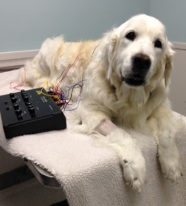 Acupuncture and Holistic Veterinary Services- image of a golden dog receiving acupuncture