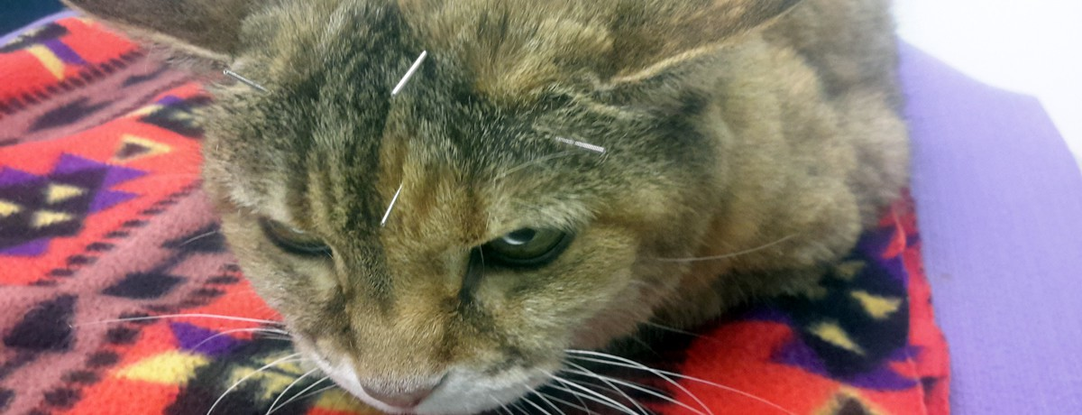 Acupuncture and Holistic Veterinary Services - image of cat having an acupuncture treatment